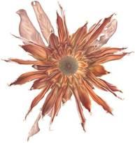 Exhibition Logo ©Christiaan Lochner,  Protea mundii