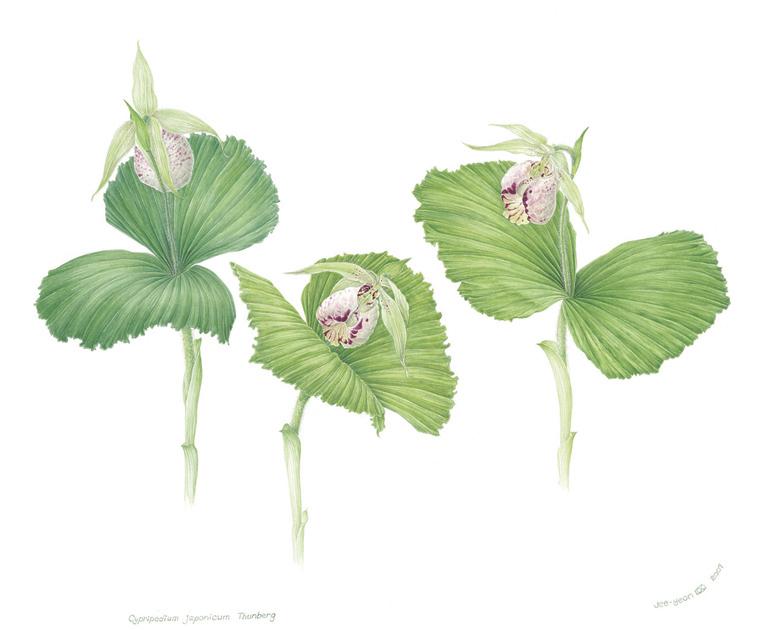 Cypripedium japonicum , watercolor on paper, ©Jee-Yeon Koo