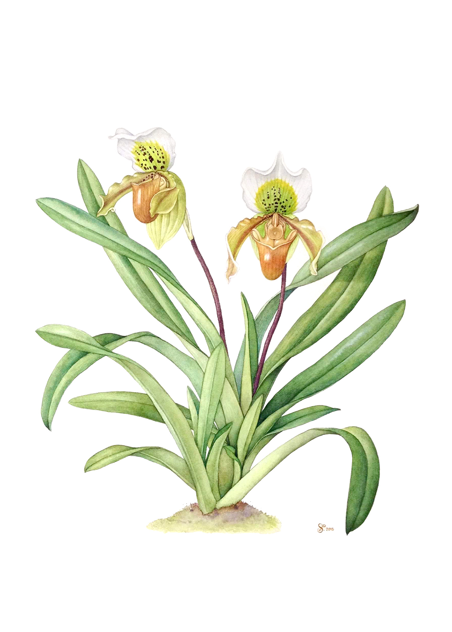 Paphiopedilum exul,  watercolor on paper,   Sunitsorn Pimpasalee ©Department of Plant Science, Mahidol Universit y