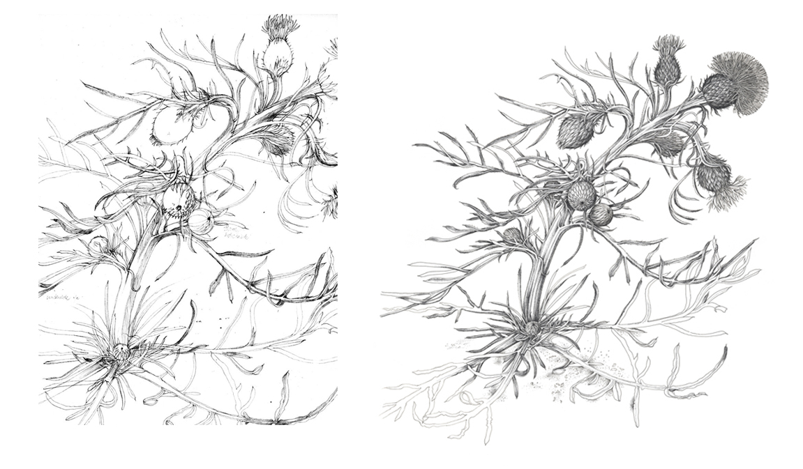 A field study of Pitcher's Thistle (left) and the completed pen and black ink drawing (right), ©Derek Norman.