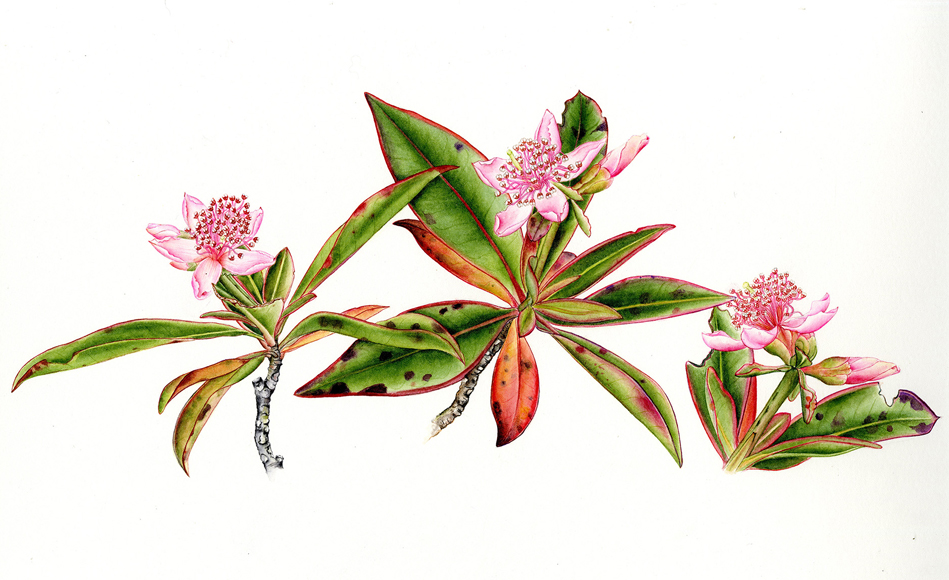 Archytaea triflora,  watercolor on paper, ©Maria Alice Rezende