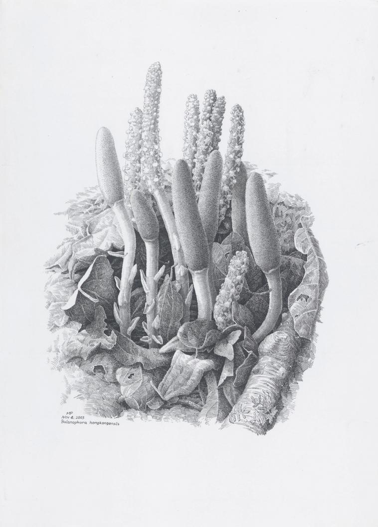 © Ma Ping, Hong Kong Balanophora,  Balanophora hongkongensis,  pen and ink