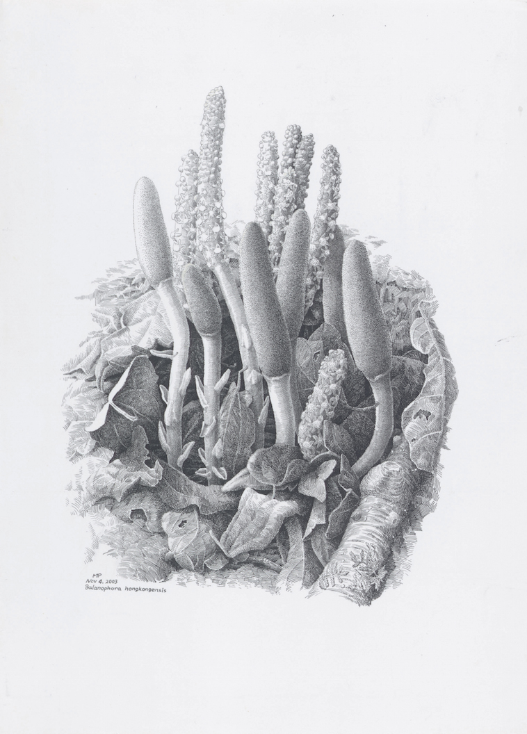 Hong Kong Balanophora, Balanophora hongkongensis, pen and ink,© Ma Ping