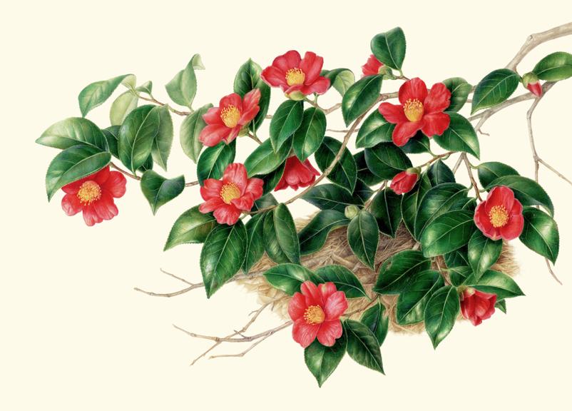 Camellia japonica  var.  decumbens,  watercolor on vellum, © Akiko Enokido