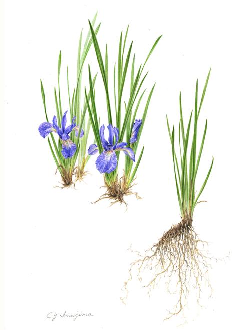 Iris sanguine  var.  tobataensis , watercolor on paper, ©Yuko Inujima