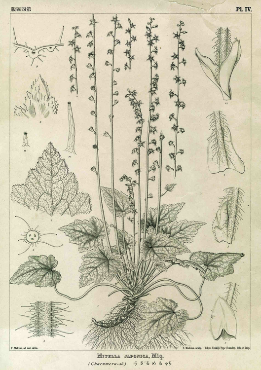 One of the historical images drawn by Tomitaro Makino for  Icones Florae Japonicae  (1902) and on view in the Gallery.  Mitella stylosa var.  makinoi , ink on paper, ©Tomitaro Makino