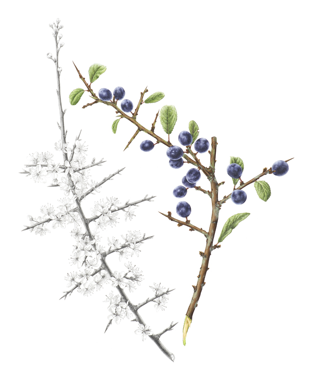 Prunus spinosa , blackthorn, watercolor and graphite, ©Christine Battle