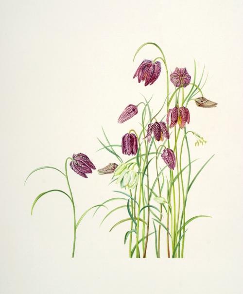 Checkered Lily,   Fritillaria meleagris   , watercolor on paper, ©Anita Walsmit Sachs