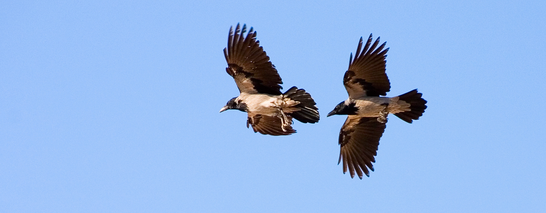 crow 1.jpg