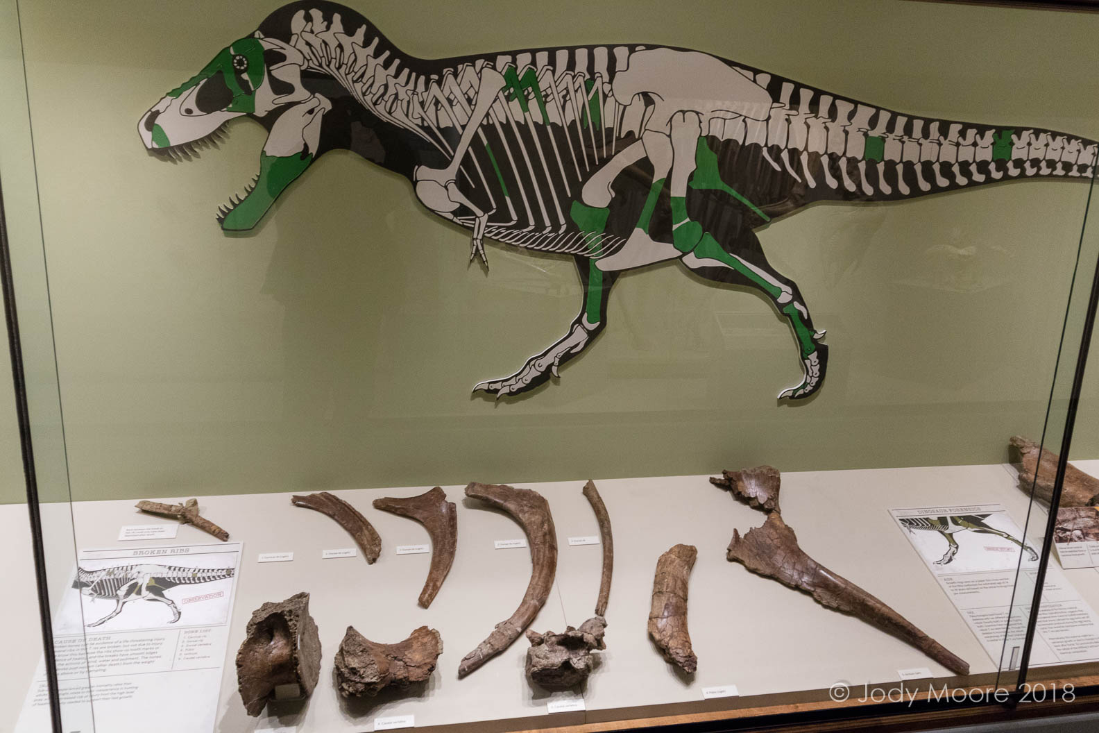 Displayed specimens of University of Kansas' Lucy T.rex, at the university's on-campus museum in Lawrence, KS. Photo taken Dec. 2017.