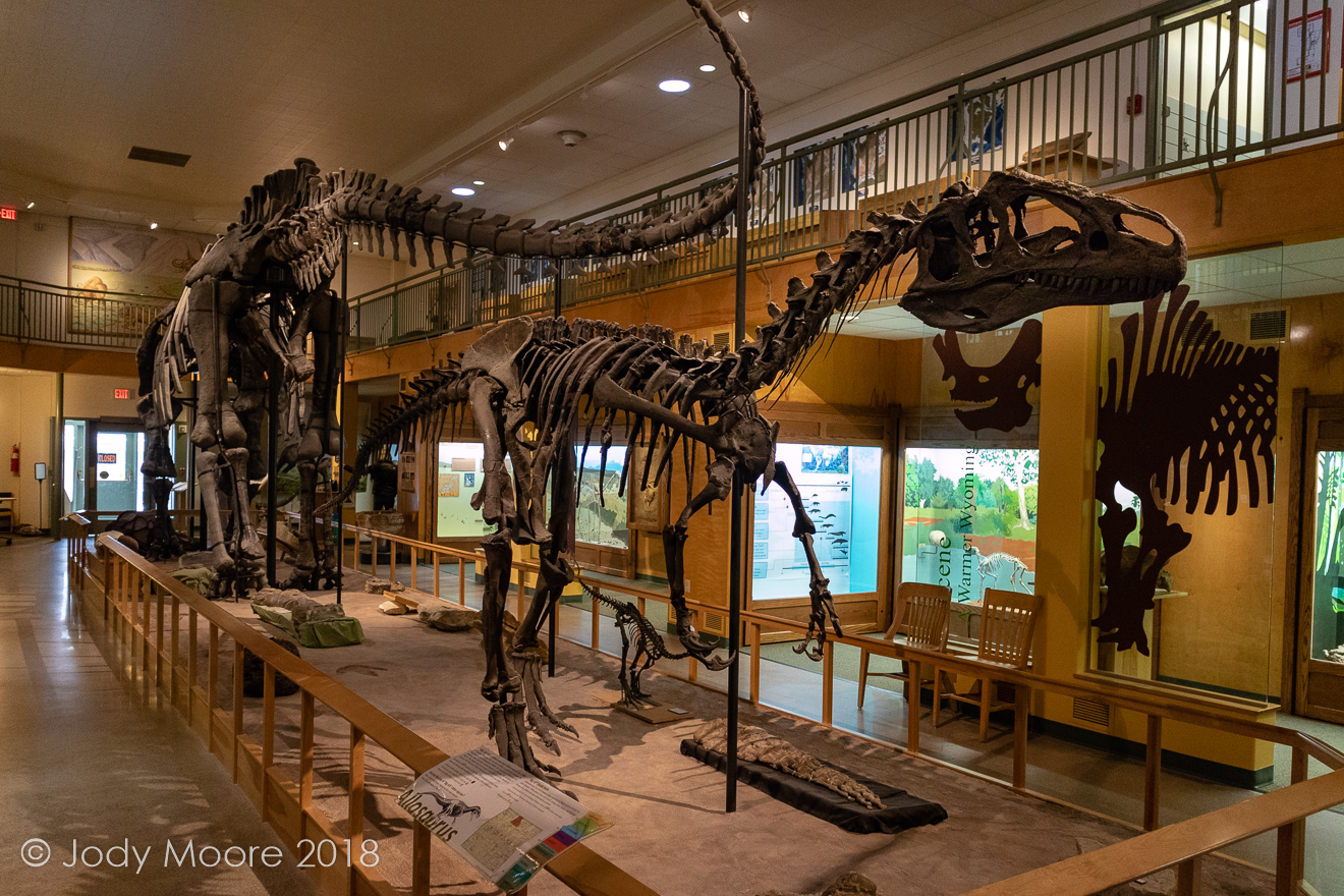 Big Al shares space with a massive Apatosaurus cast, and several other dinosaurs, at the University of Wyoming Geological Museum in Laramie, WY.