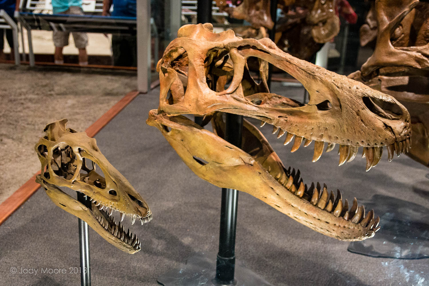 "MOR 6625 ""Chomper rex's"" tiny reconstructed skull next to a cast of the Burpee Musuem's juvenile T.rex BMRP 2002.4.1 ""Jane"" for comparison. The two skulls are part of the T.rex Growth Series skull display at the Museum of the Rockies in Bozeman, MT."