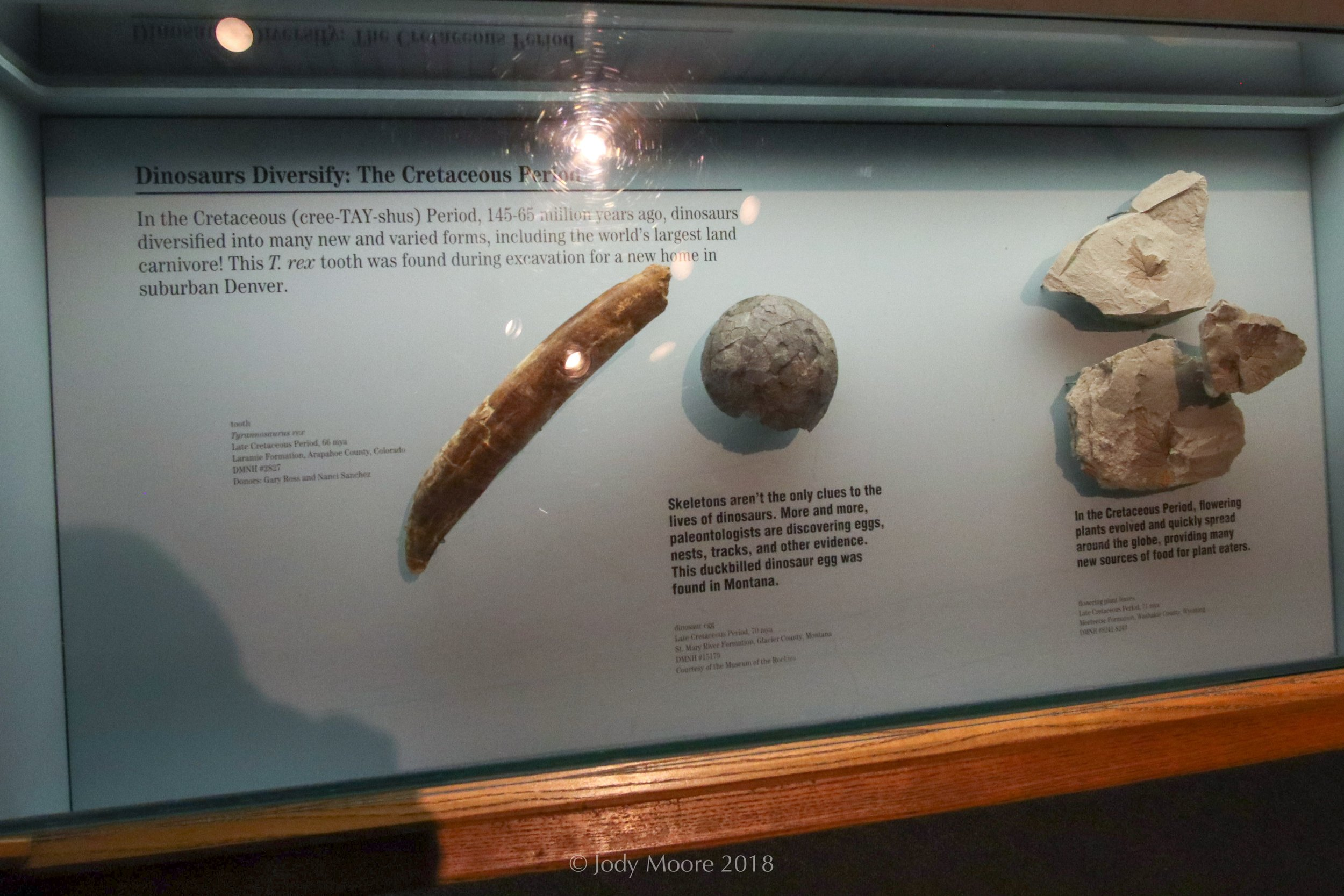 Specimen DMNH 2827 consists of several leg and shoulder bones, ribs, and three teeth of a tyrannosaur found in Littleton, CO in 1992. Two of teeth are displayed in the Denver Museum of Nature and Science, where the specimen resides.