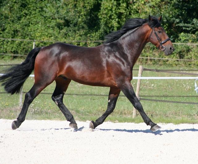 Afondale Highlander Cleveland Bay QA Stallion