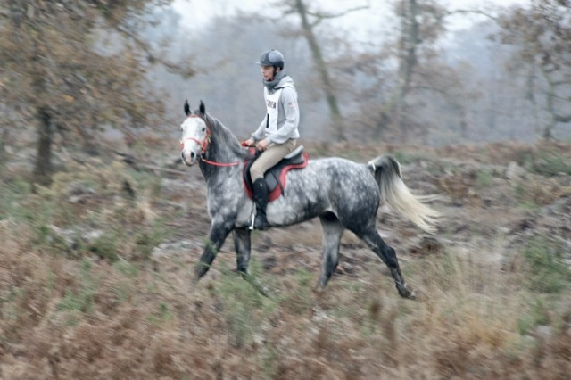 Under Milkwood Shagya Arabian Stallion