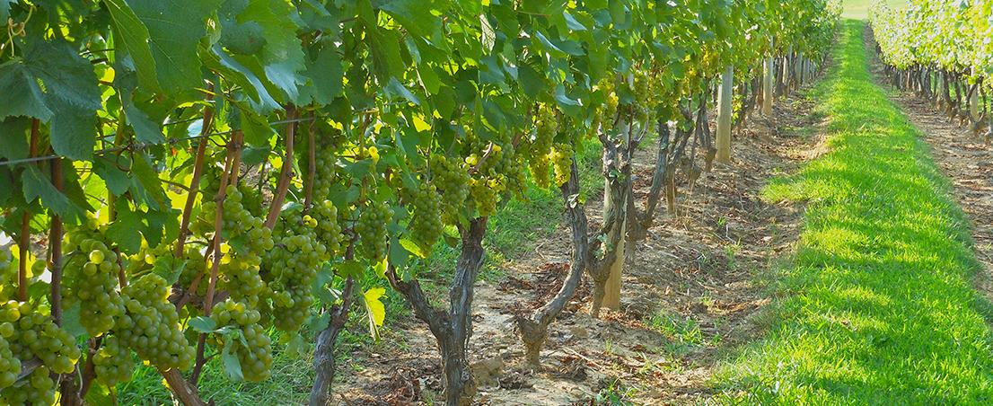 Alba Vineyard & Winery- Chardonnay