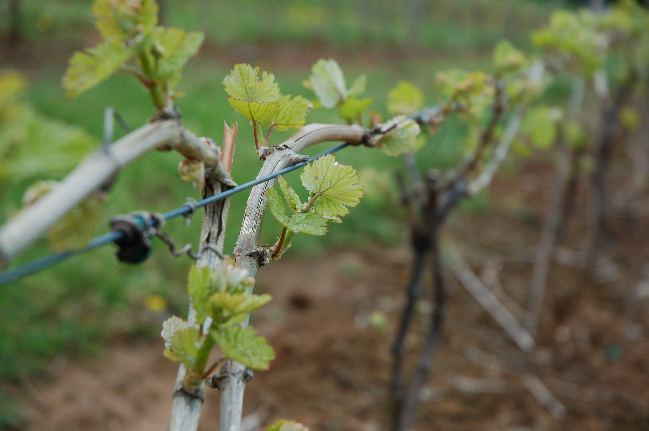 Alba VineyardCab Franc grapes