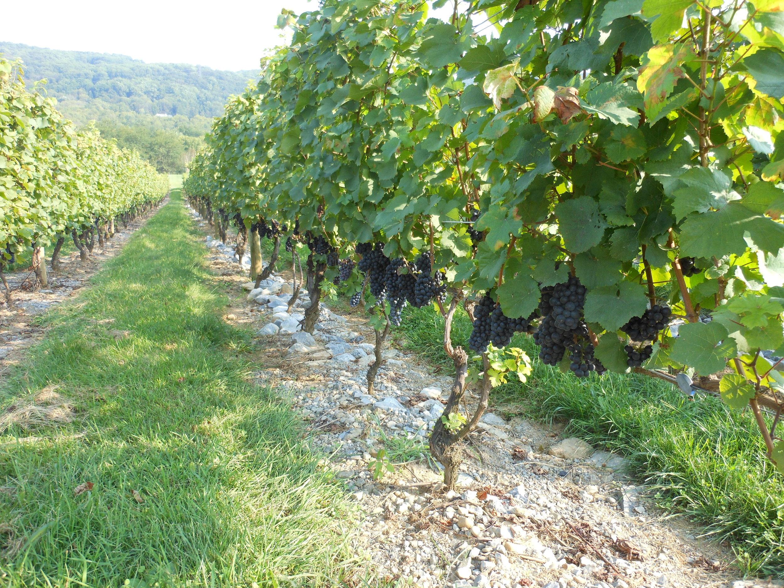 Alba Vineyard & Winery NJ vineyard