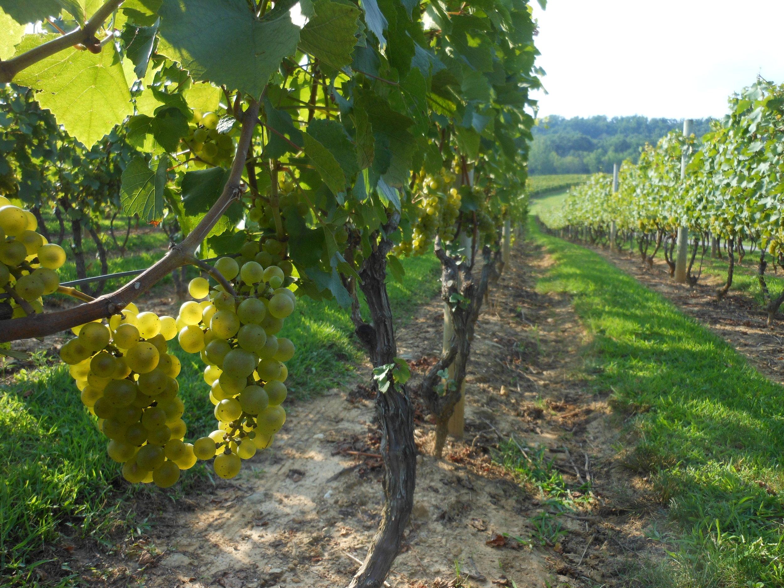 Alba Vineyard & Winery Chardonnay grapes