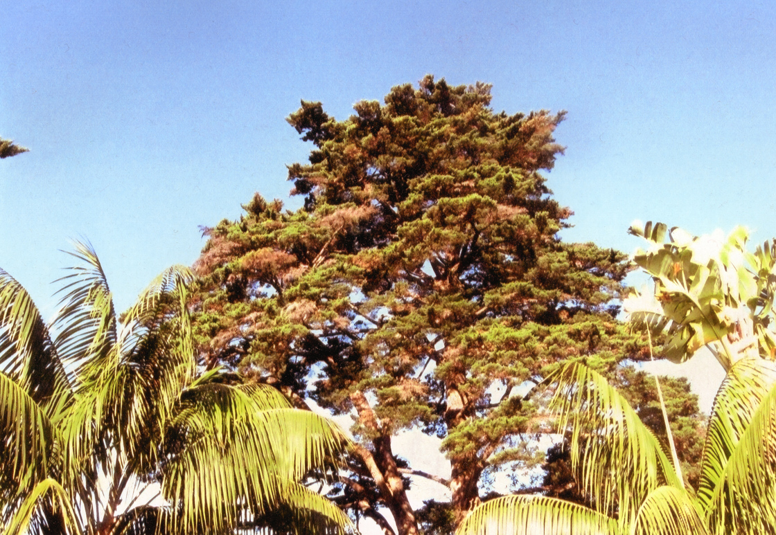 Monterey Cypress was in distress.