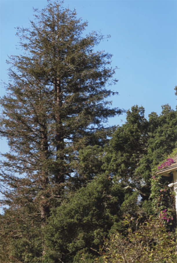 Giant Redwood in desperate need of thinning