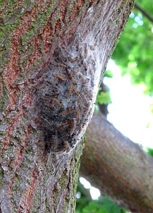 Oak moths can kill an oak in under two weeks - Contact TLC today!