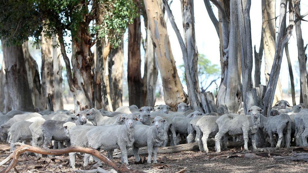Kinghorn sheep.jpg