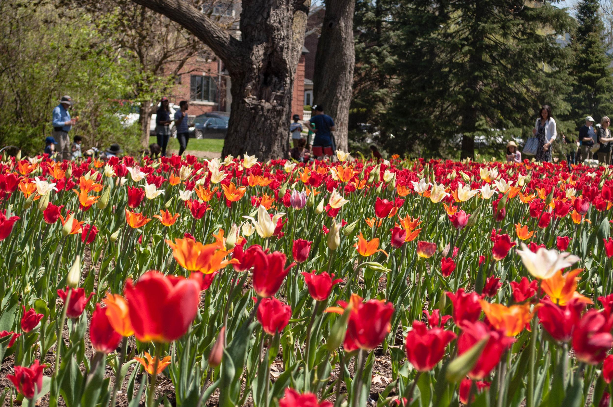 Tulips in the Canadian tulip festival in Ottawa