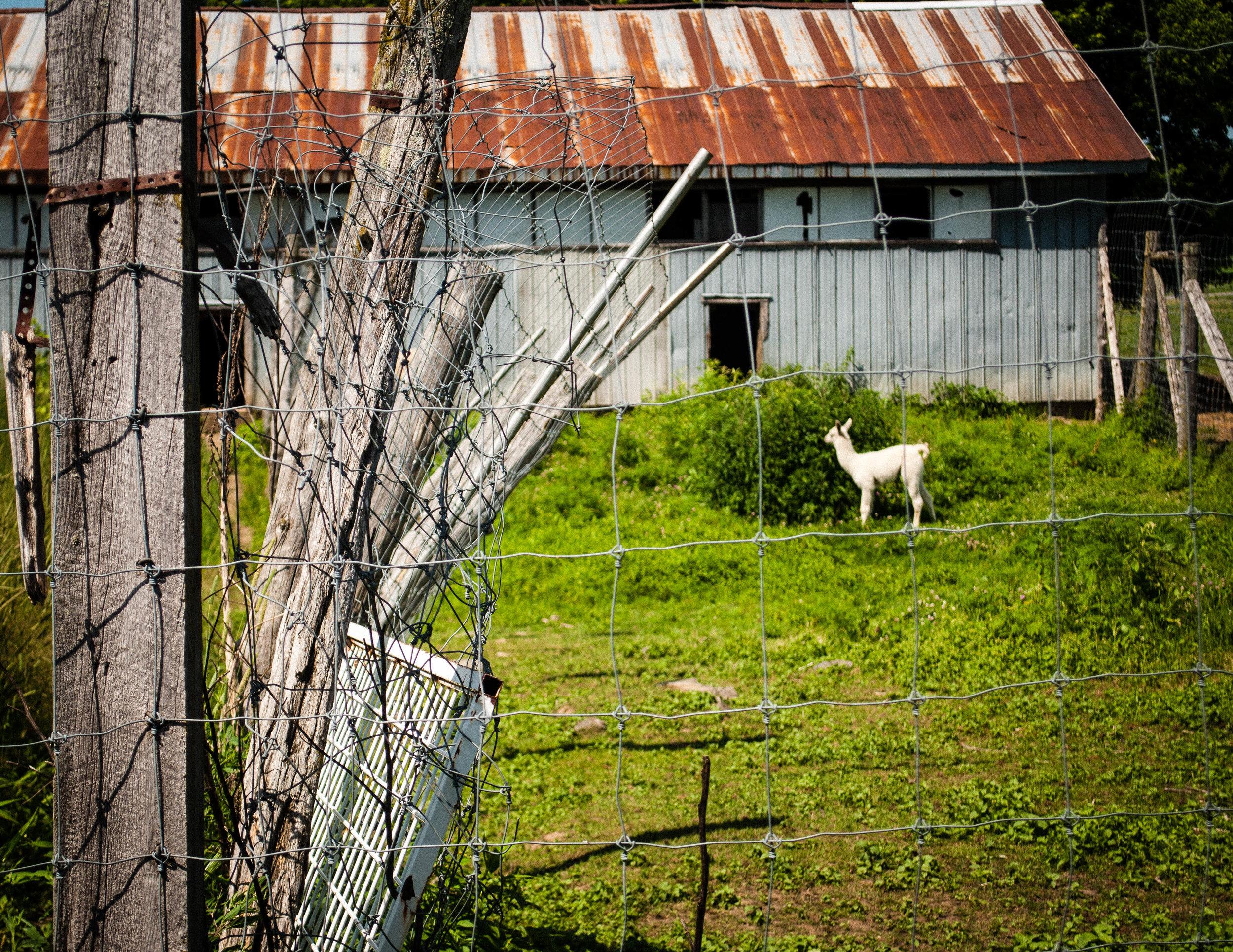 Llama in Vignoble La Bauge