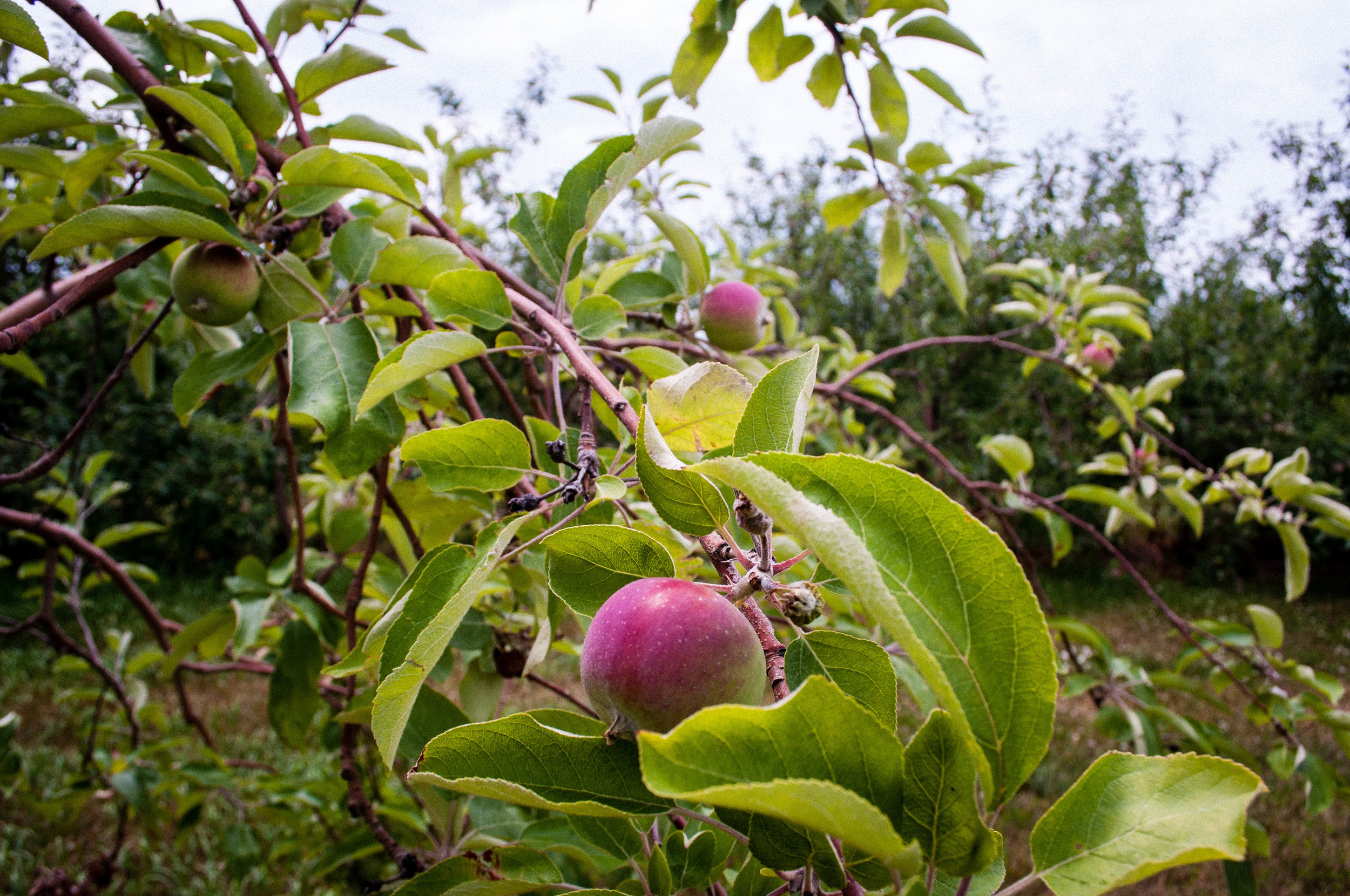 Apple tree seen in the Quebec route cider