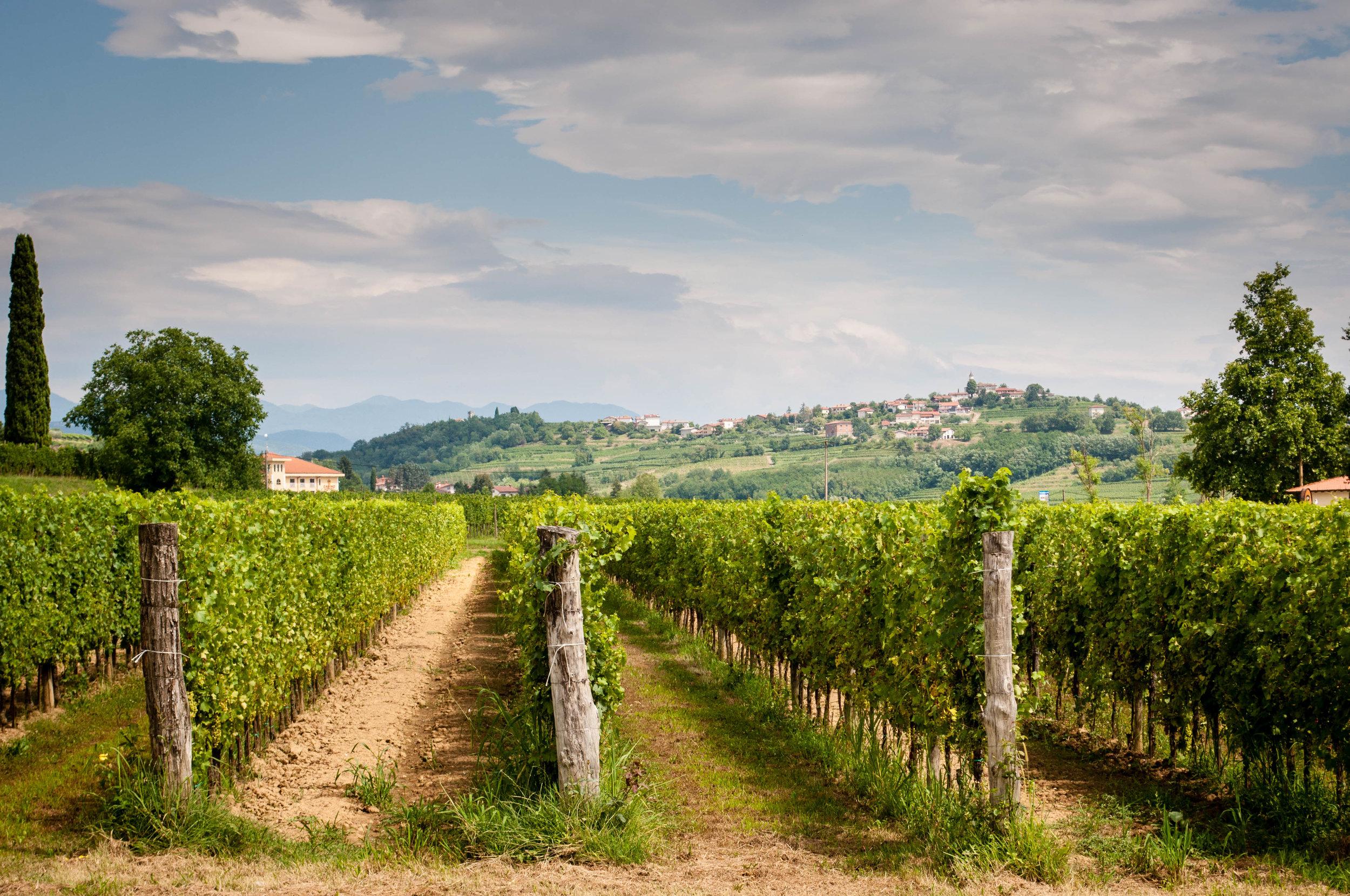 Vineyard in Brda, Slovenia wine region