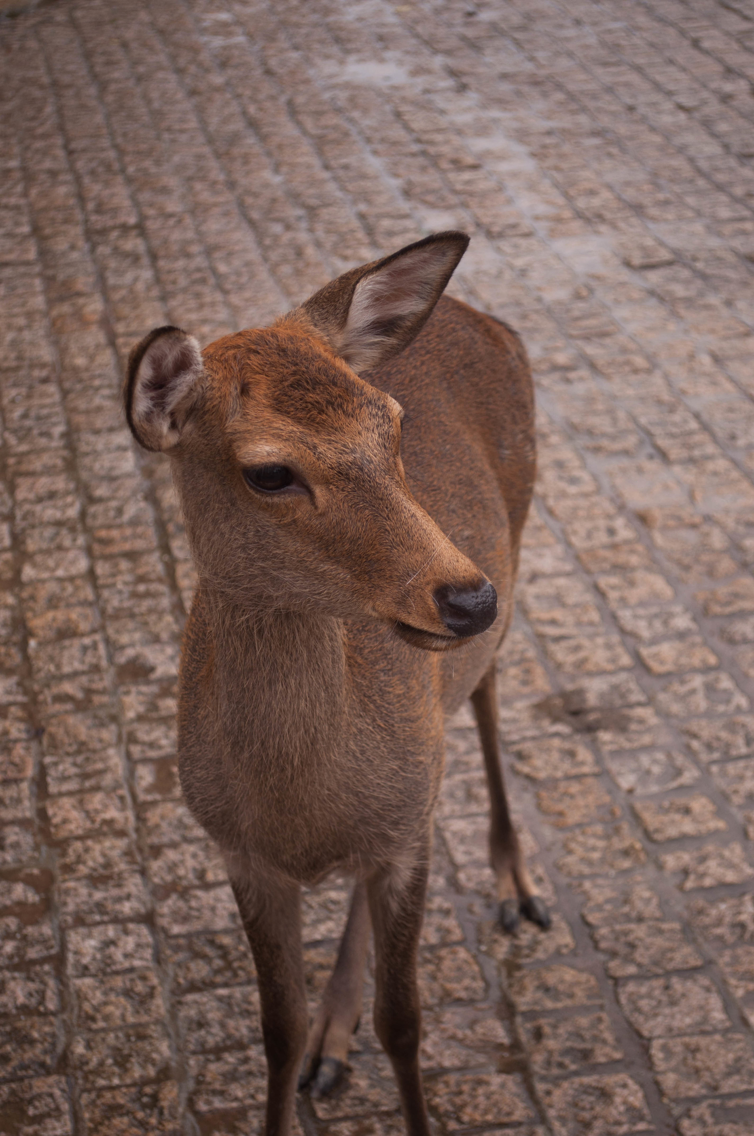 Nara and its deer part of the itinerary for couples doing their honeymoon in Japan