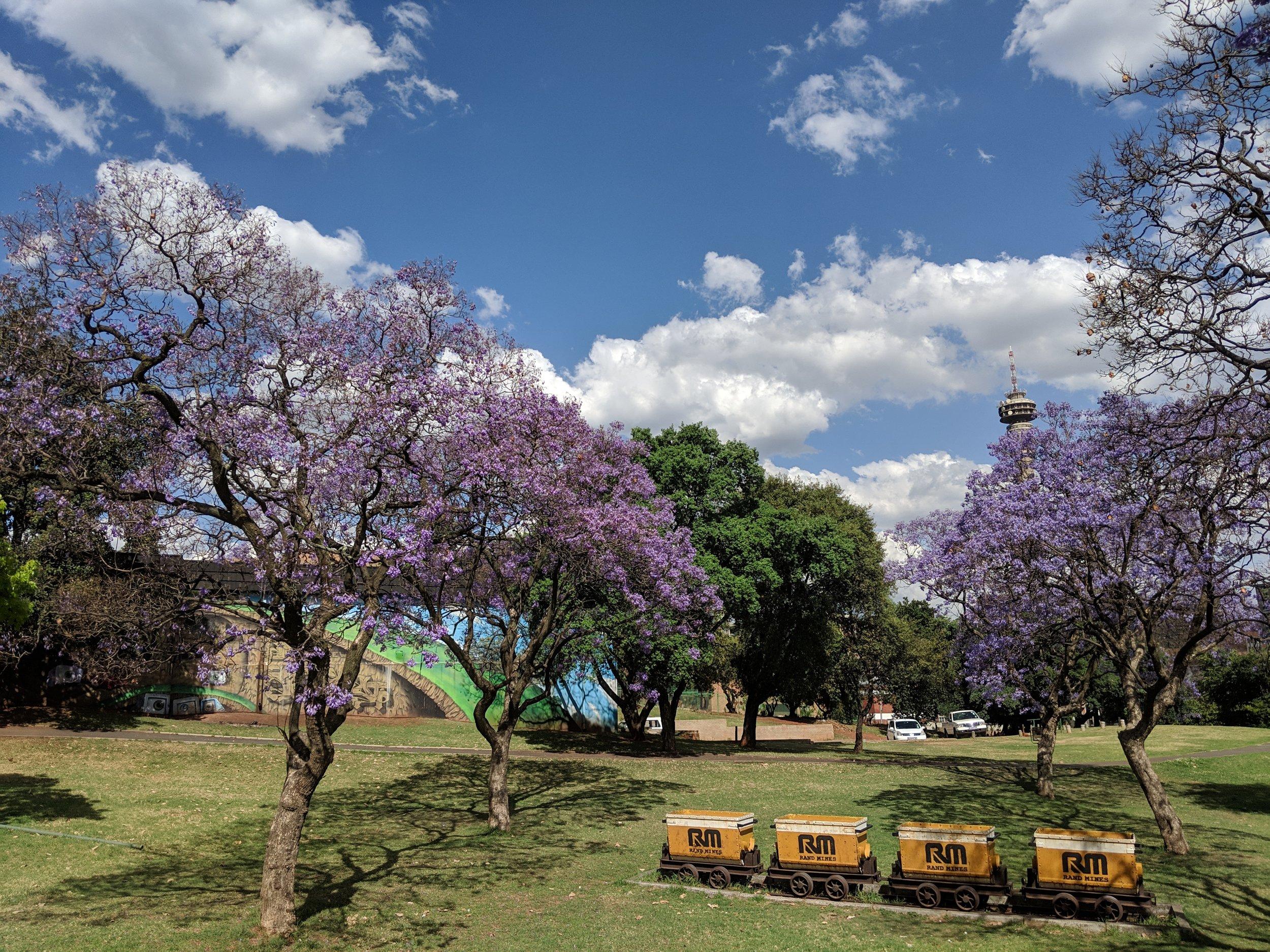 Jacaranda trees in full bloom in Johannesburg. Johannesburg Itinerary