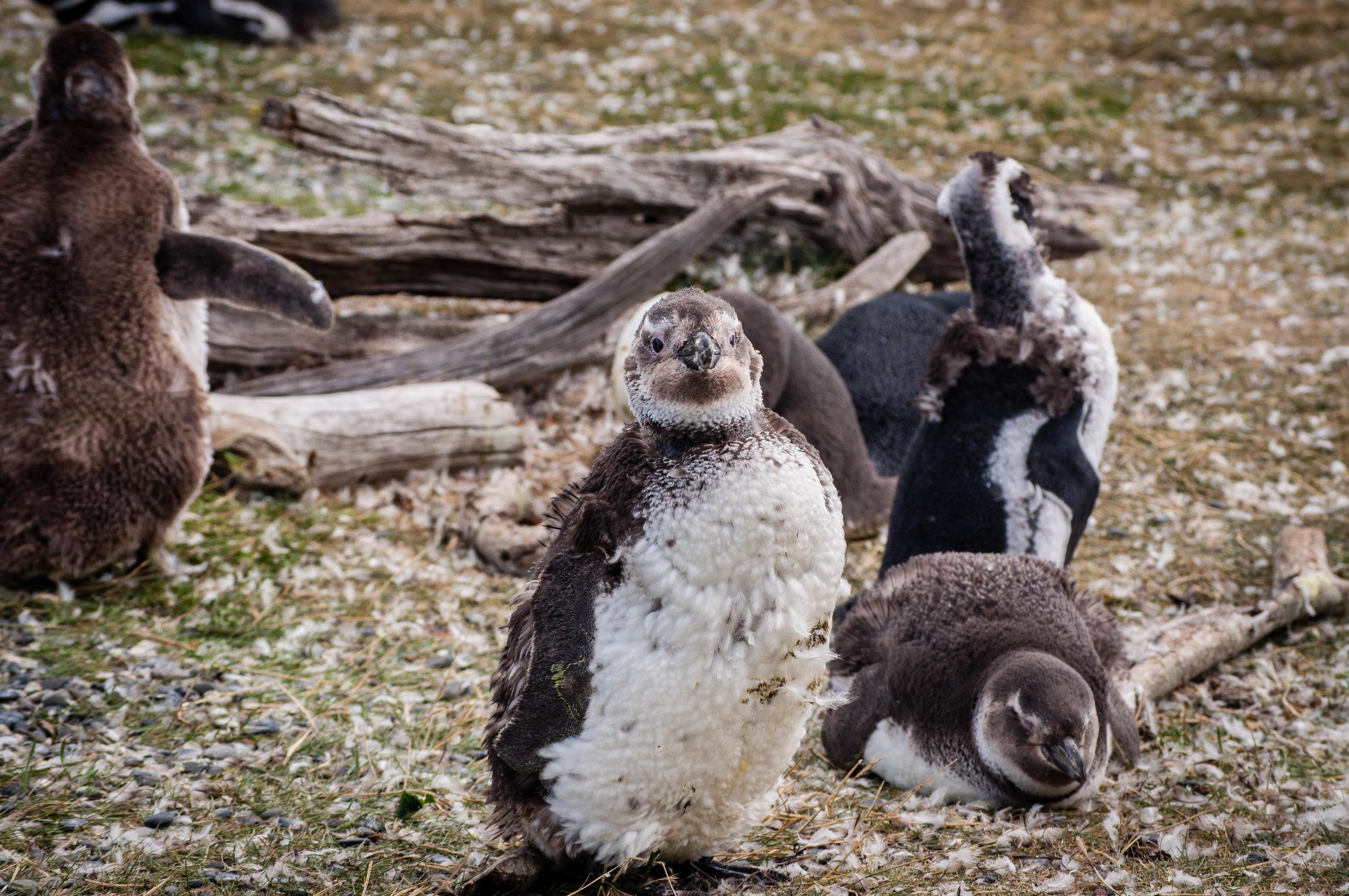 Ushuaia penguins