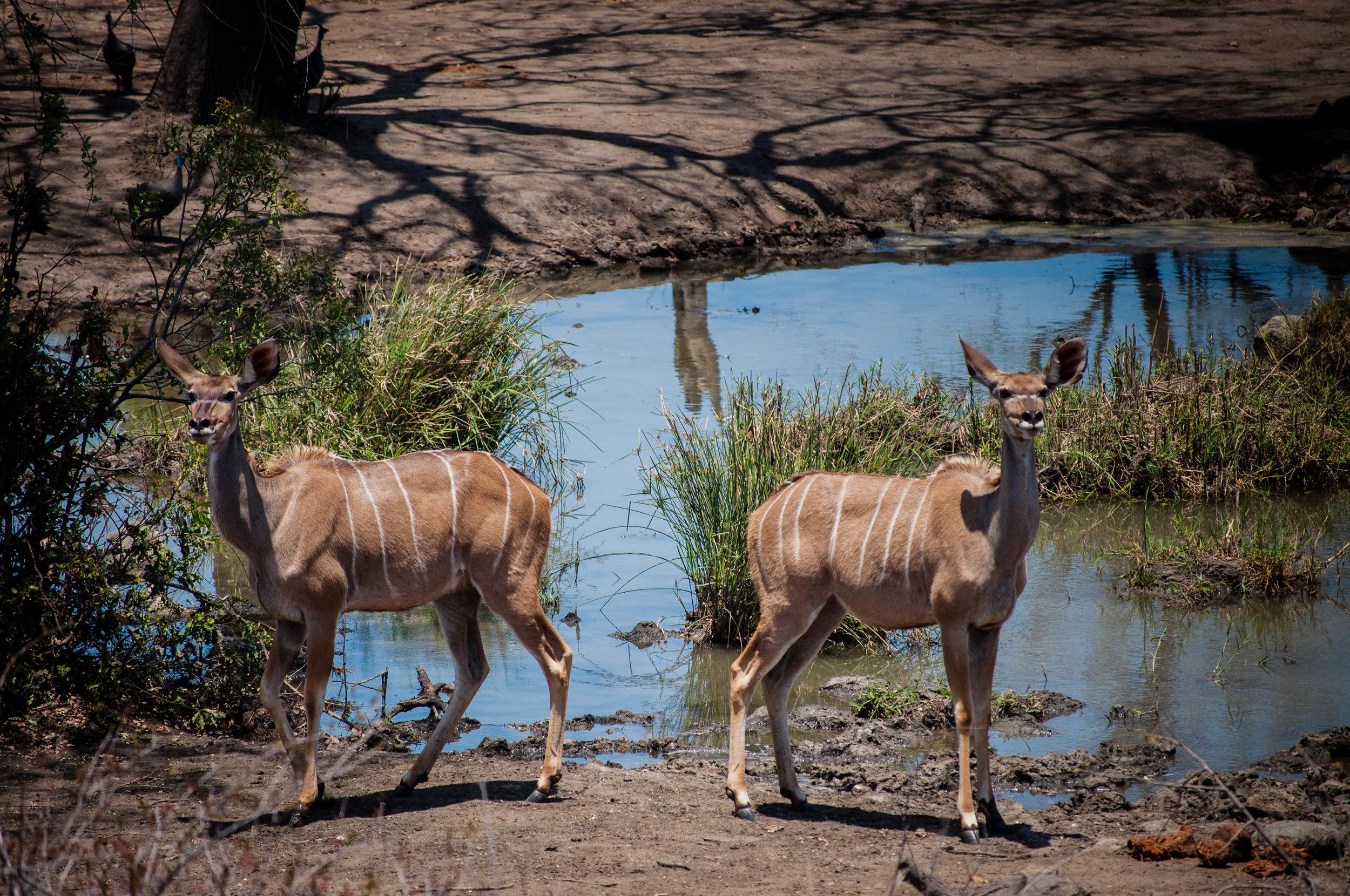 Animals drinking water at a safari private lodge. safari planner