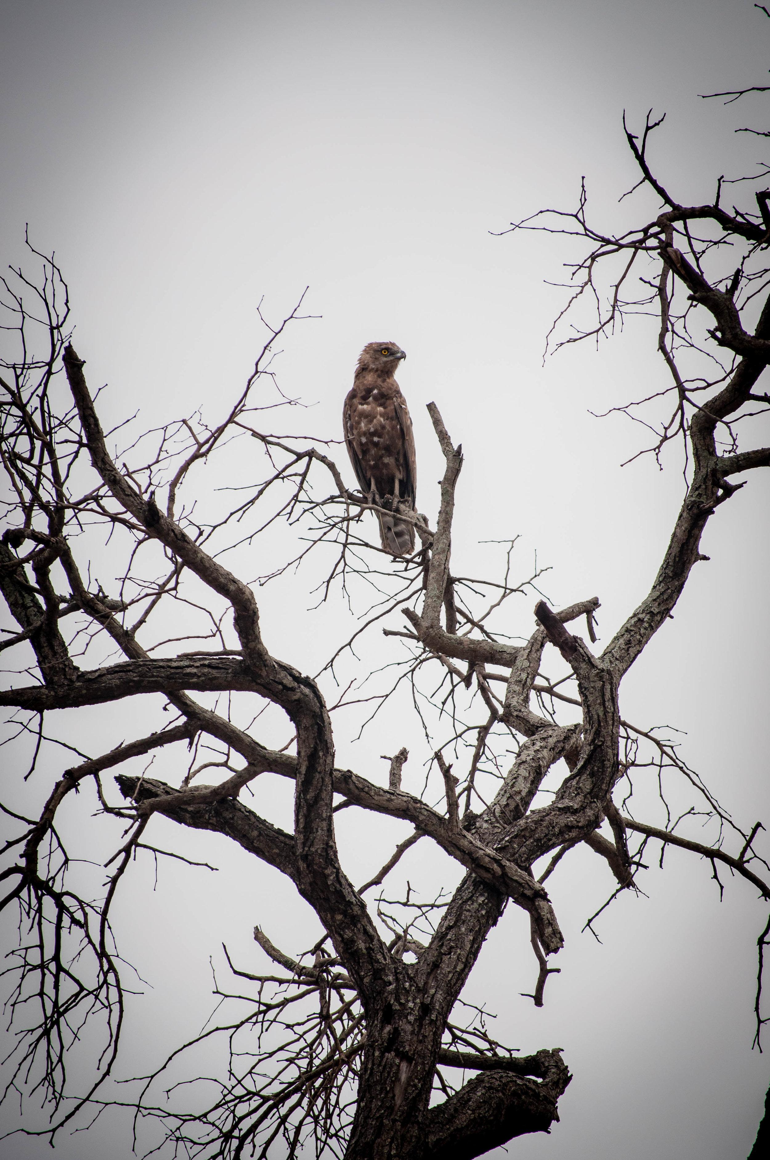 Eagle at Kruger park. safari planner