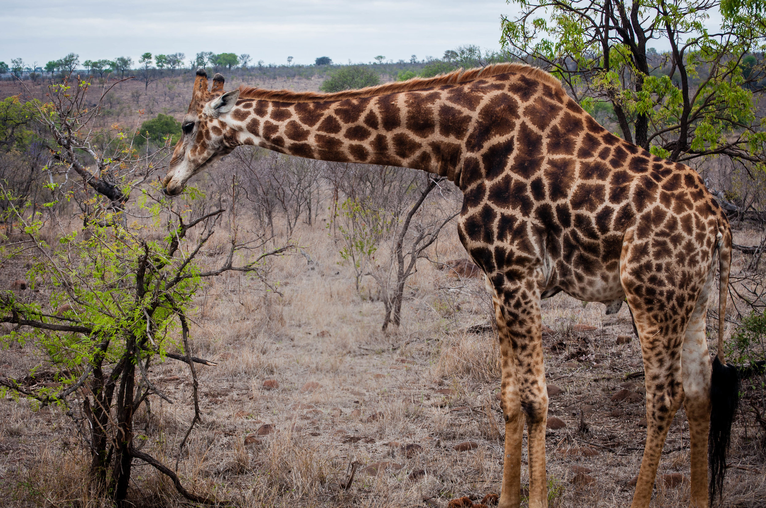 Giraffes at Kruger park. safari planner