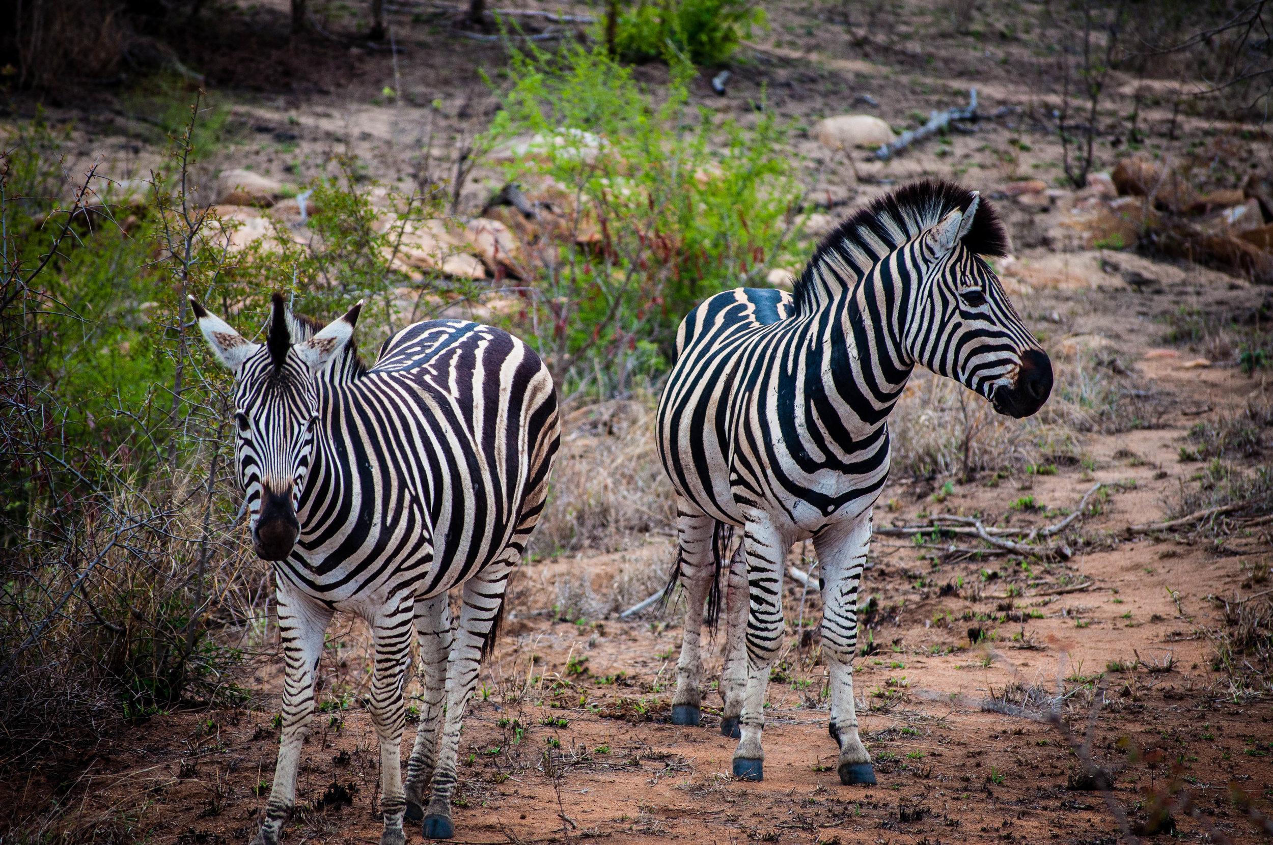 Zebras at Kruger park. safari planner