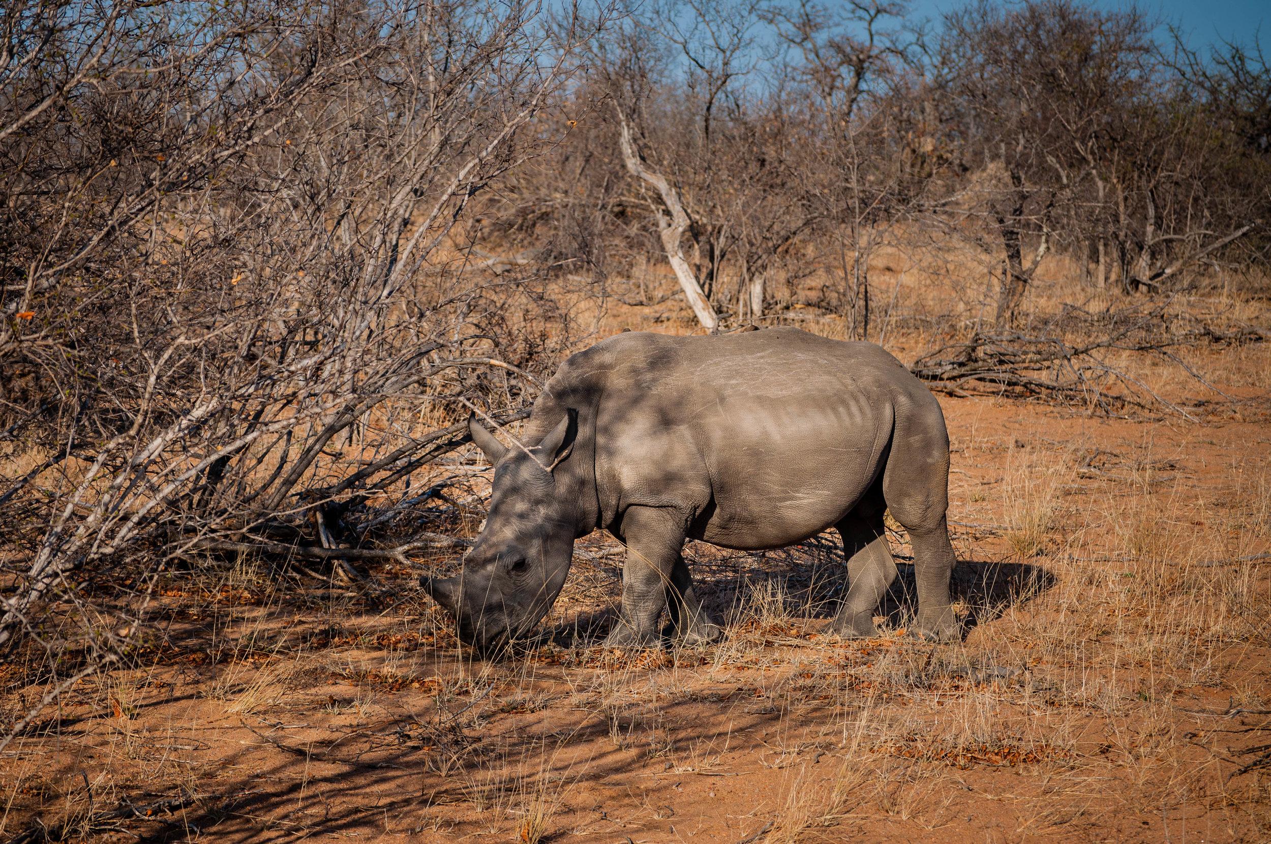 Rhinos at Kruger park. safari planner