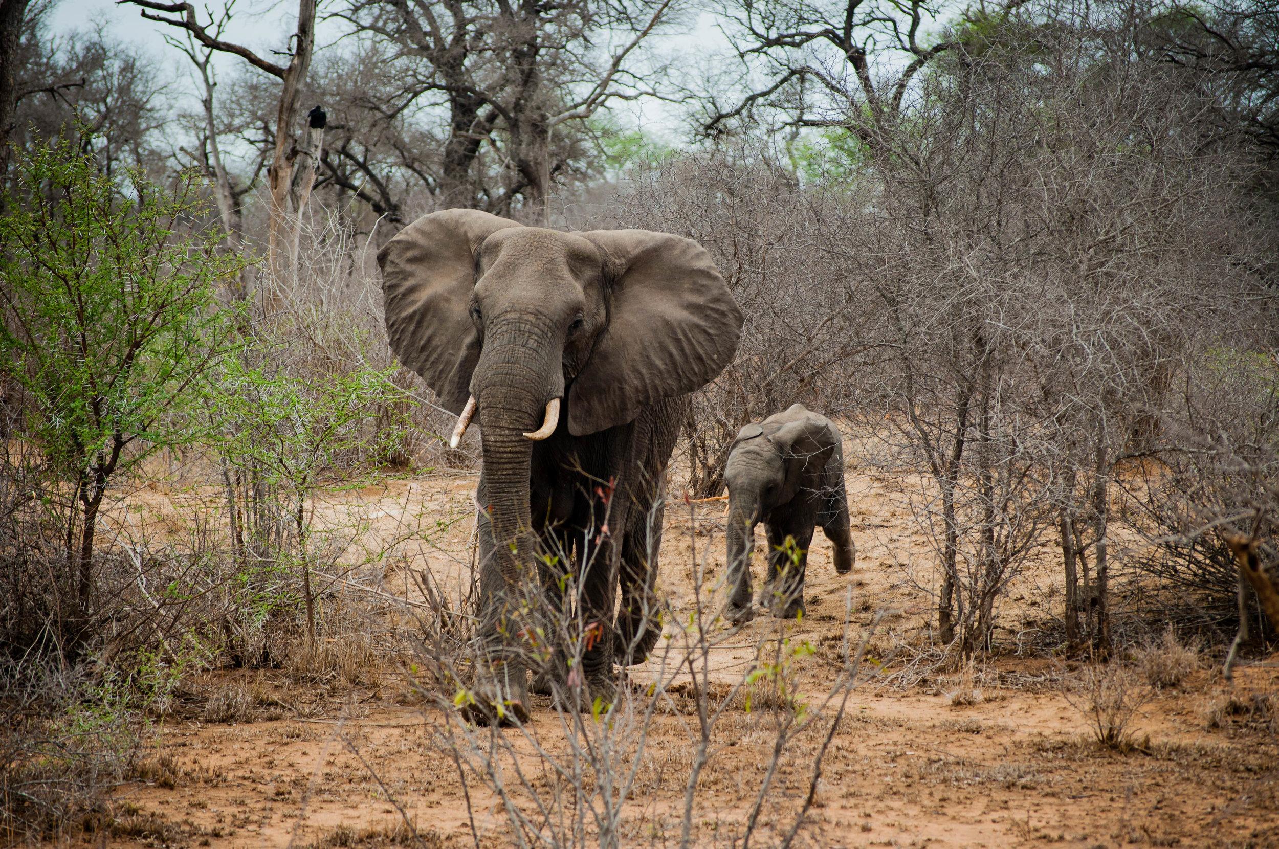 Elephants at Kruger park. safari planner
