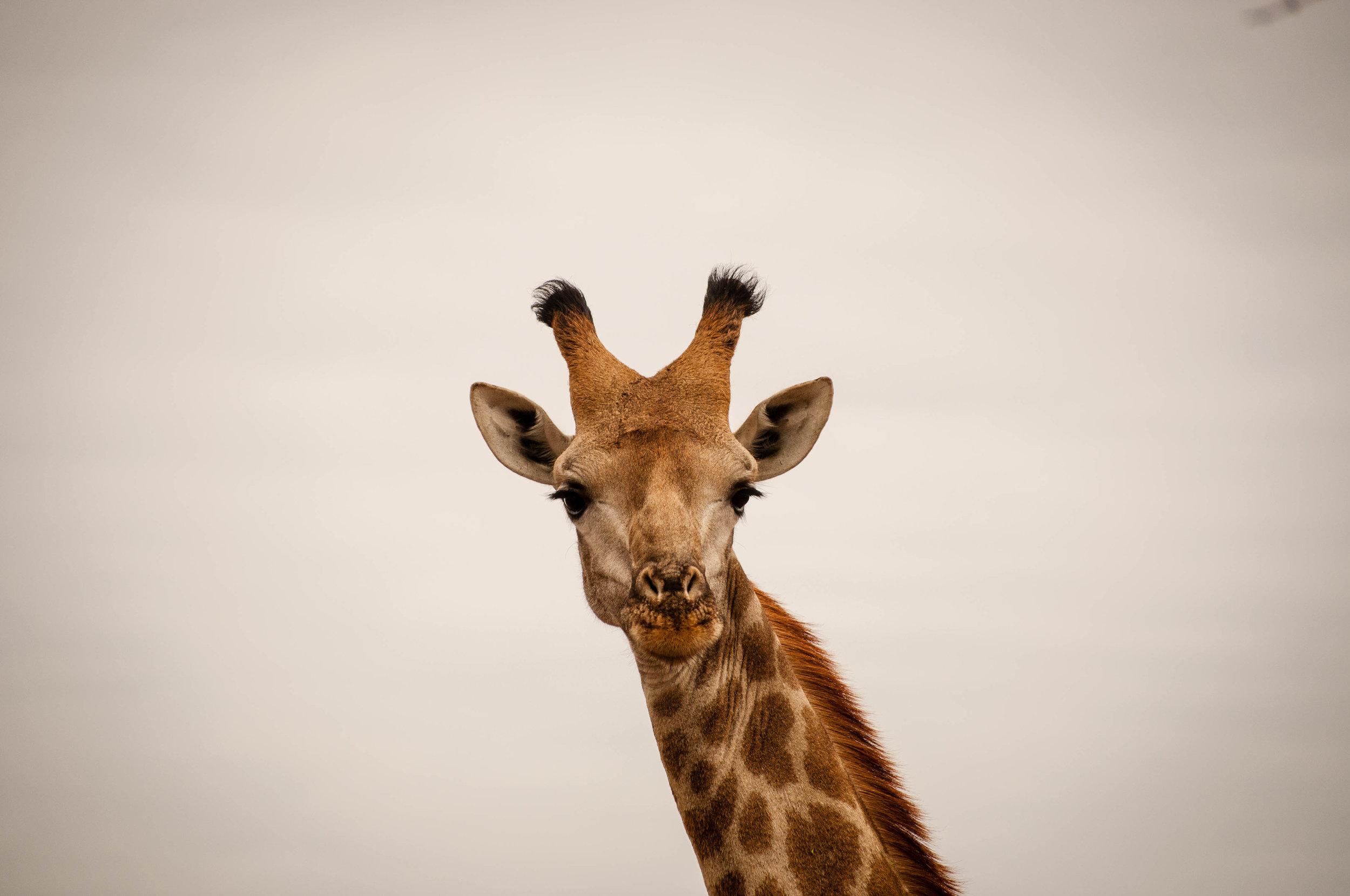 Giraffe at Kruger park. safari planner