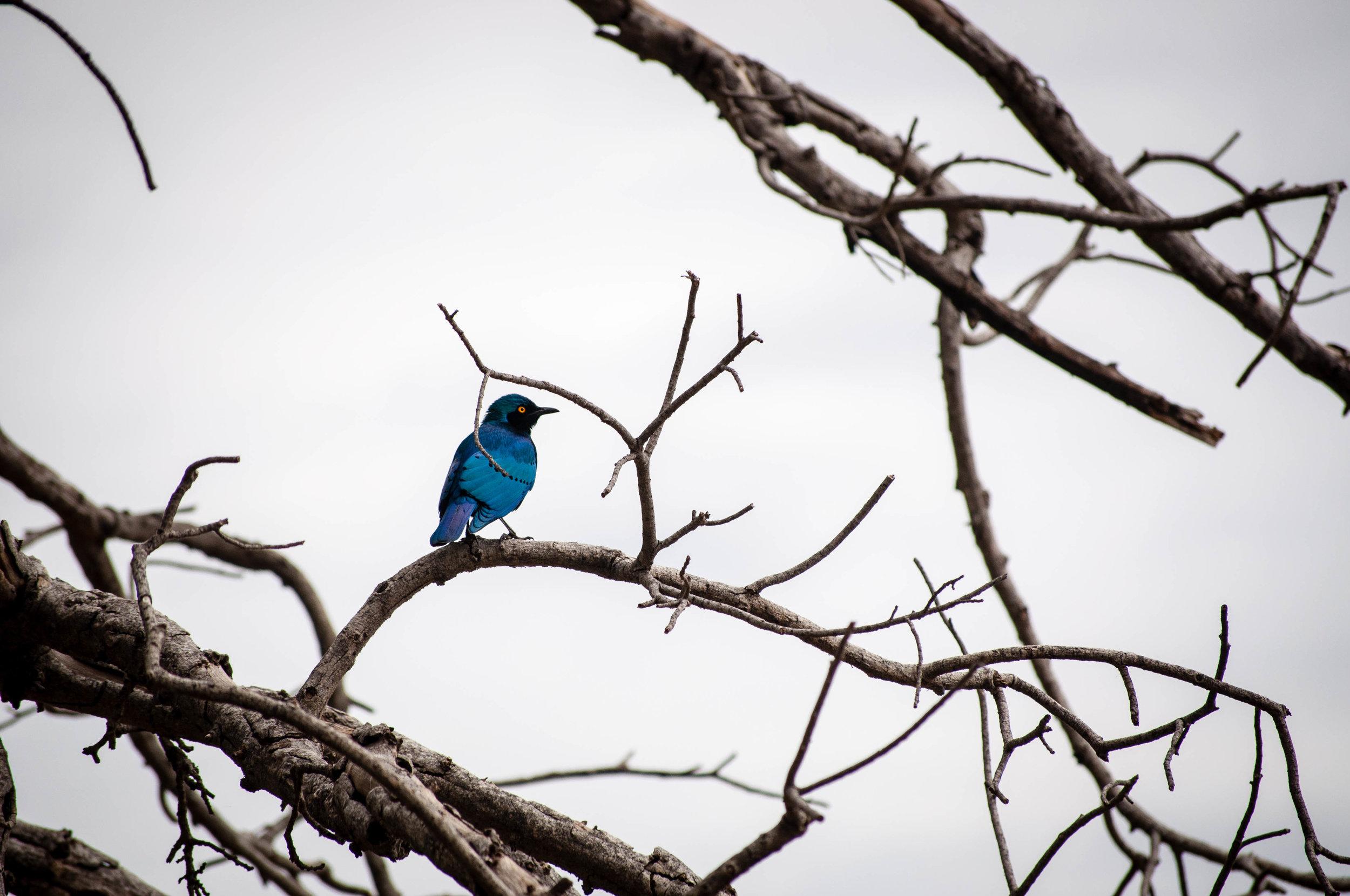 Blue bird at Kruger park. safari planner