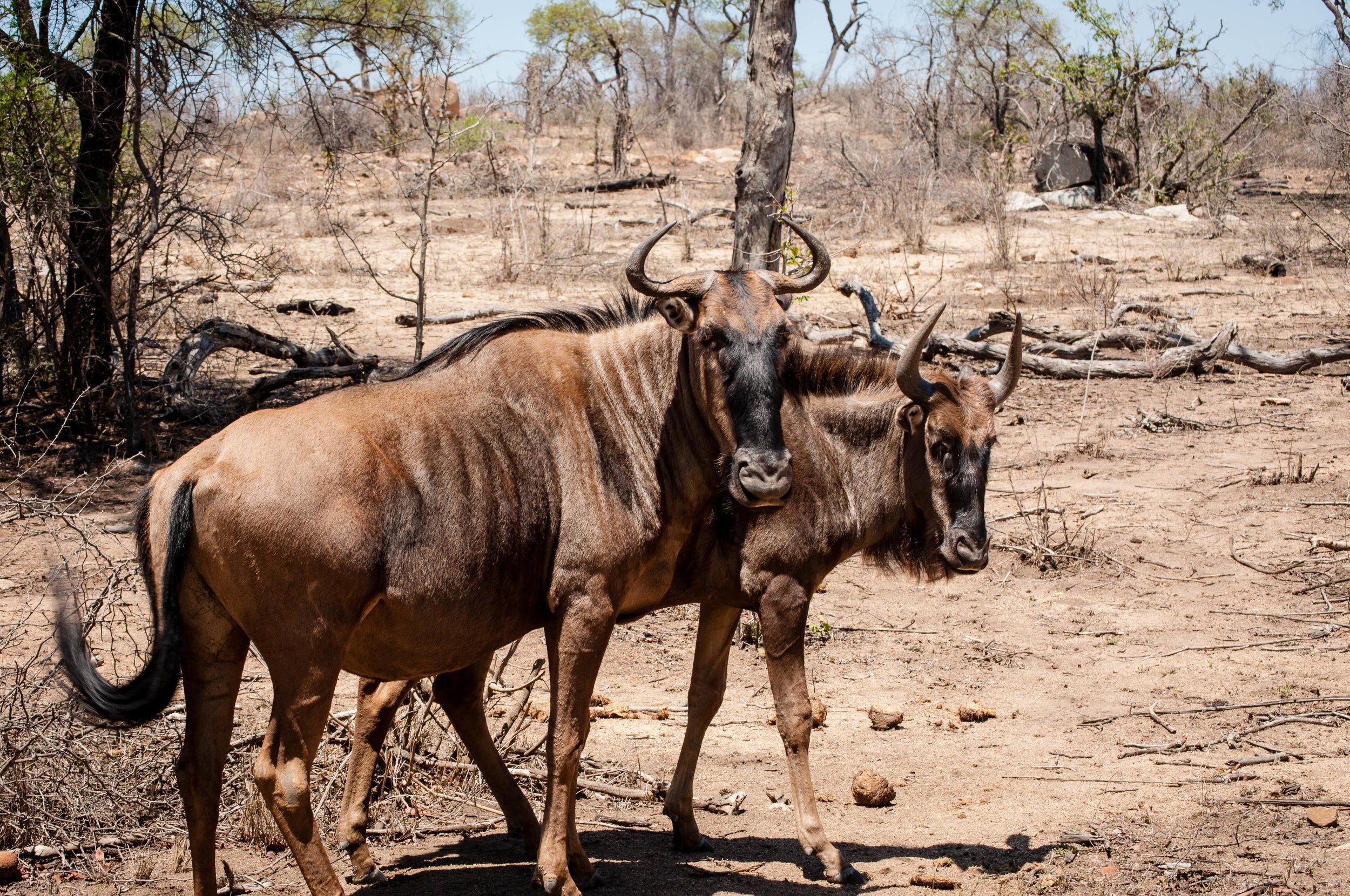 Animals at Kruger park. safari planner