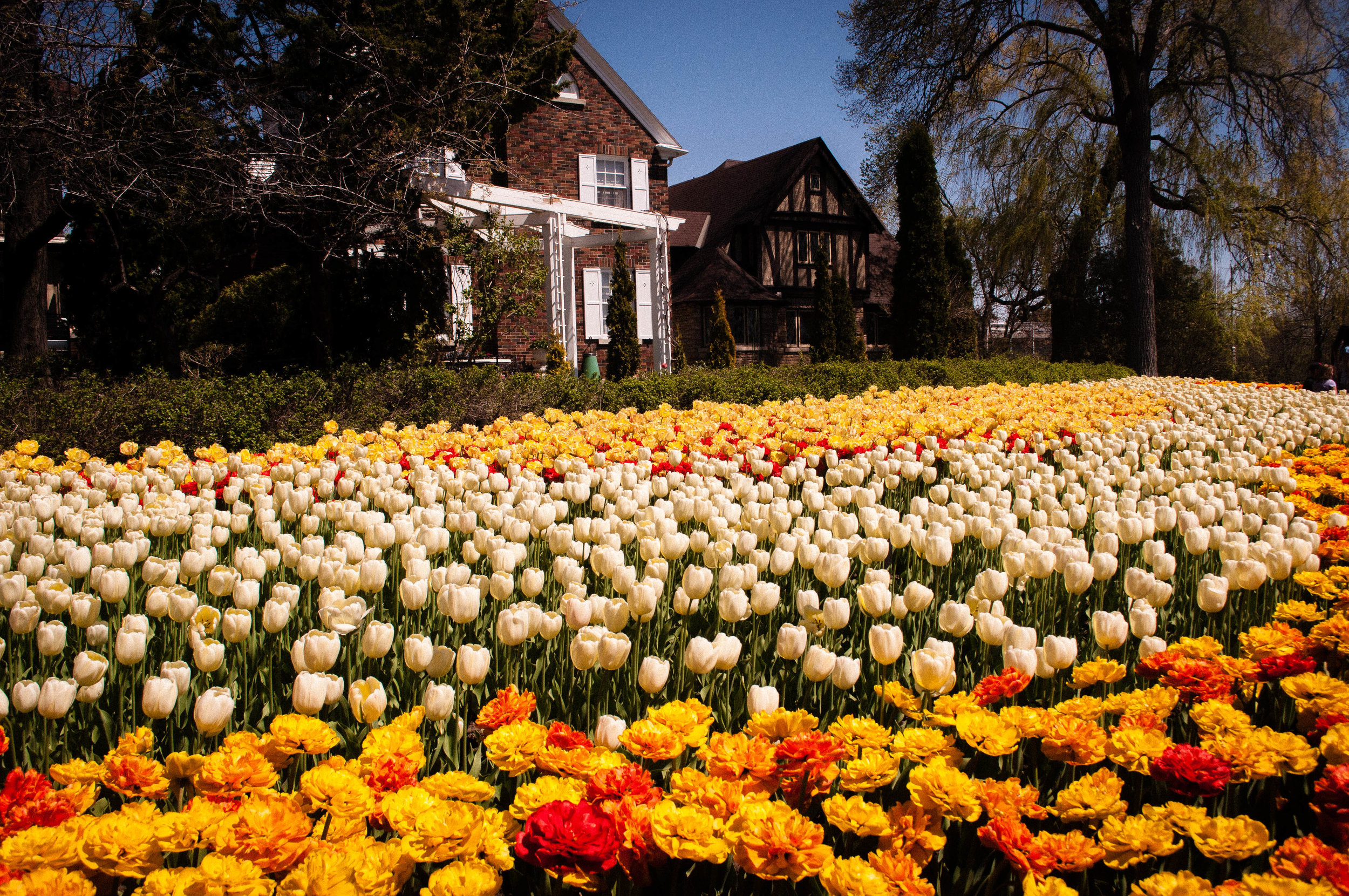 Tulip festival in Ottawa - trip from Montreal