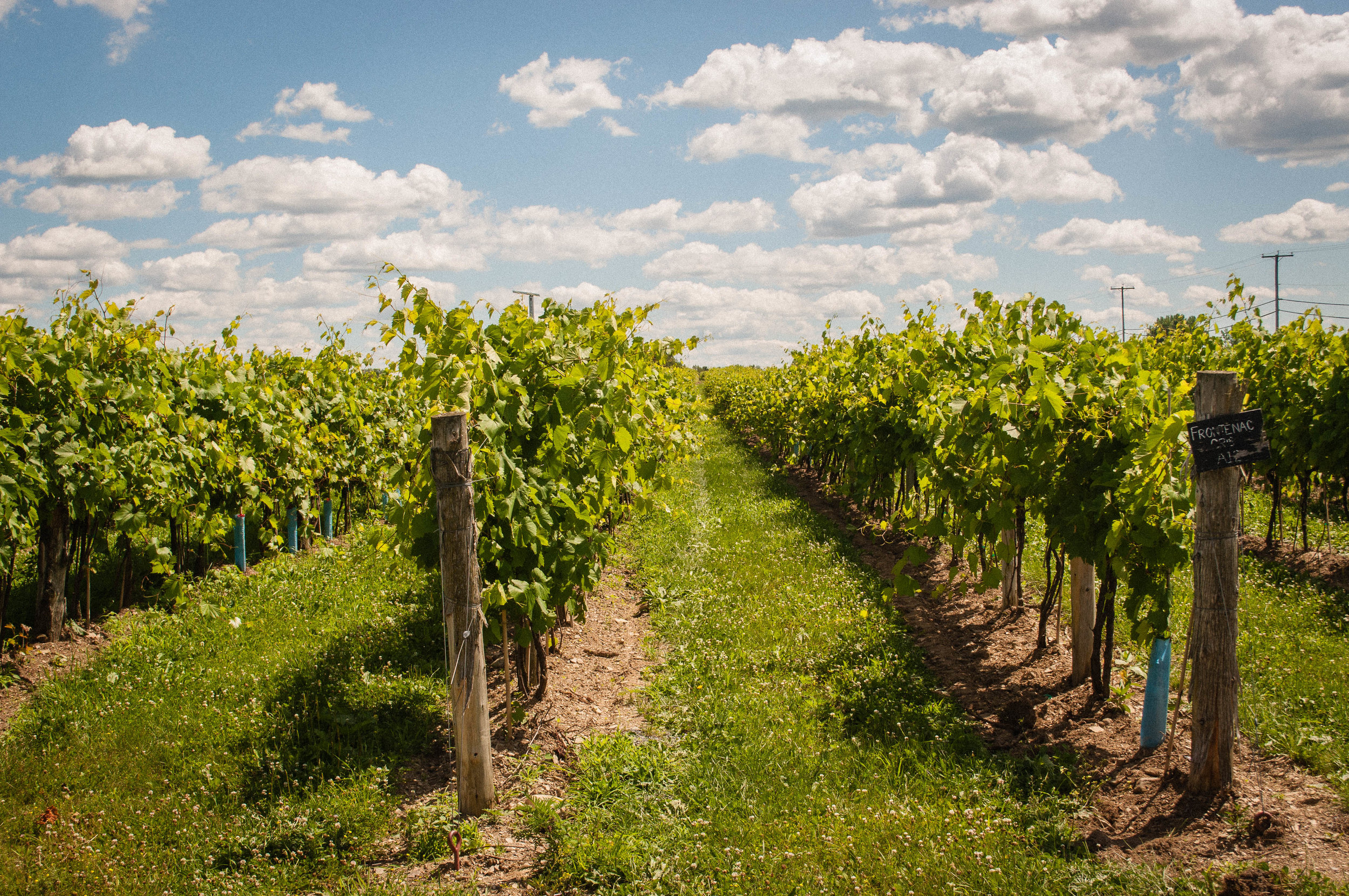 Vineyards in the Quebec Wine route - trip from Montreal