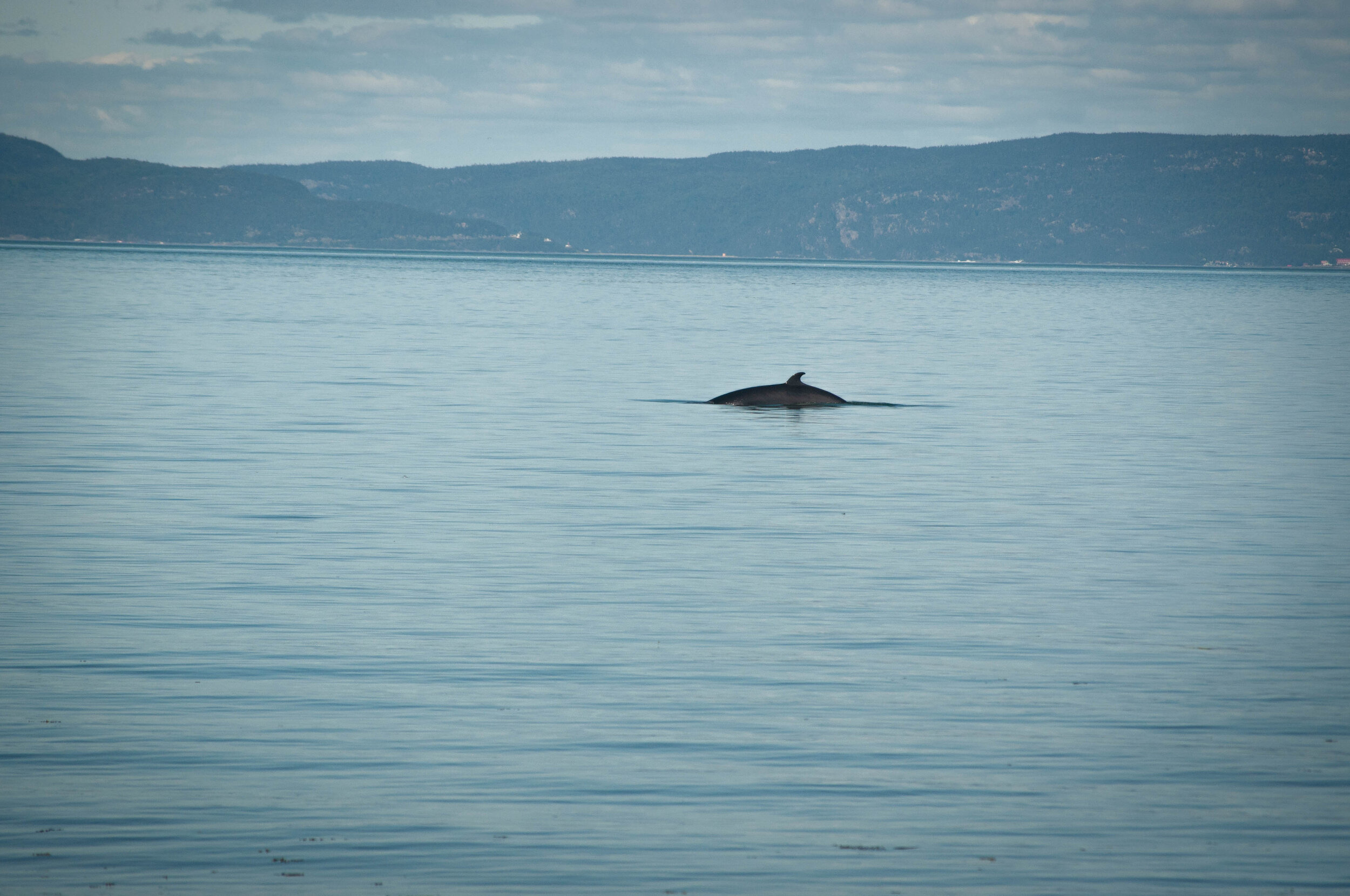 Whale in the Saint-Lawrence river near Ile Verte