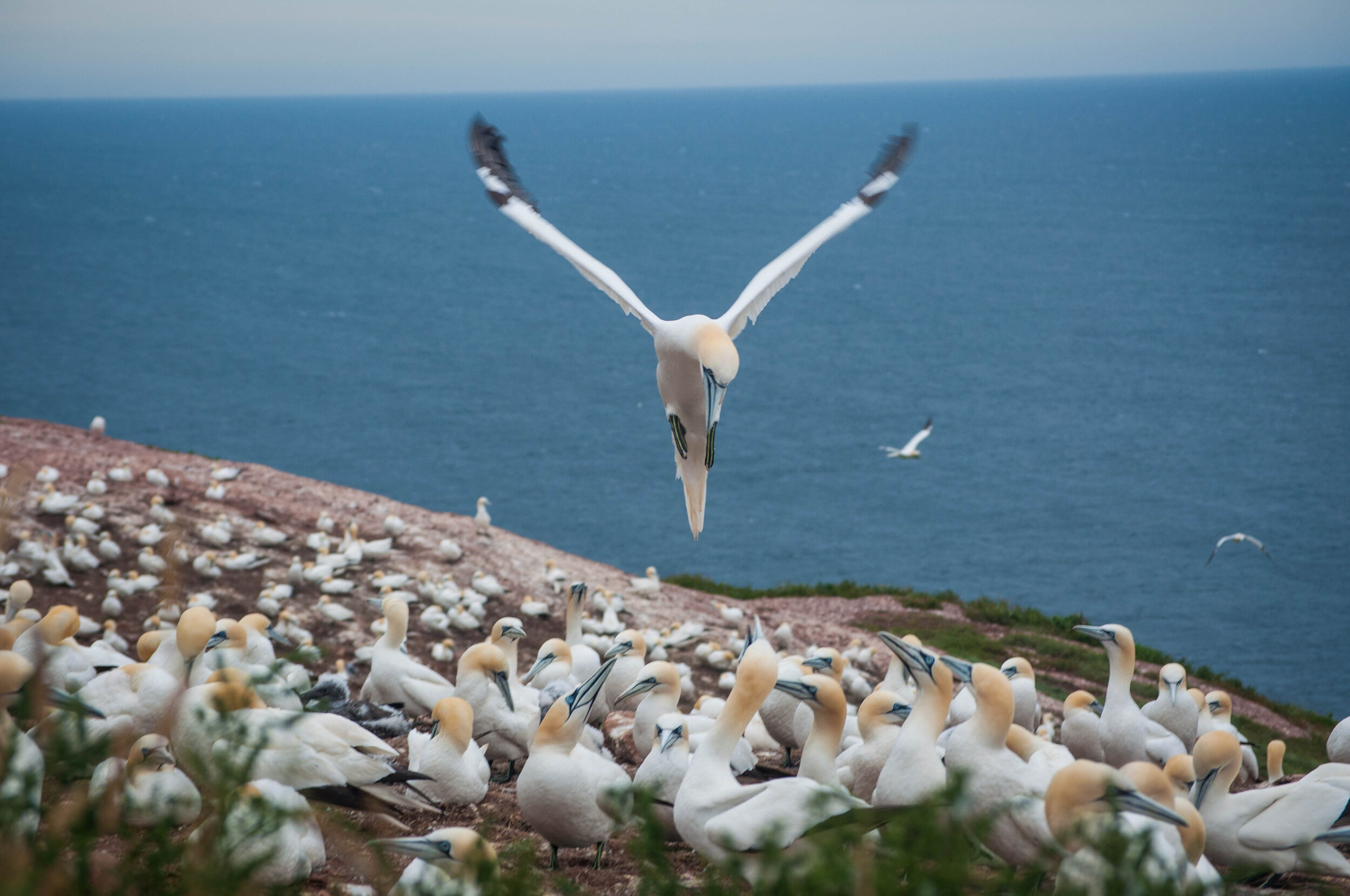 Northen Gannet in Bonaventure Island