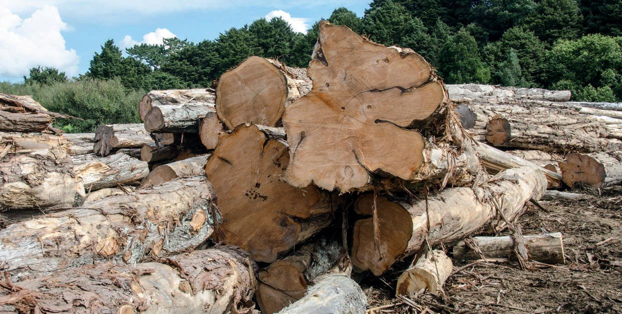 Macrocarpa has very little sapwood. These cut logs show sapwood quite clearly as a lighter area.