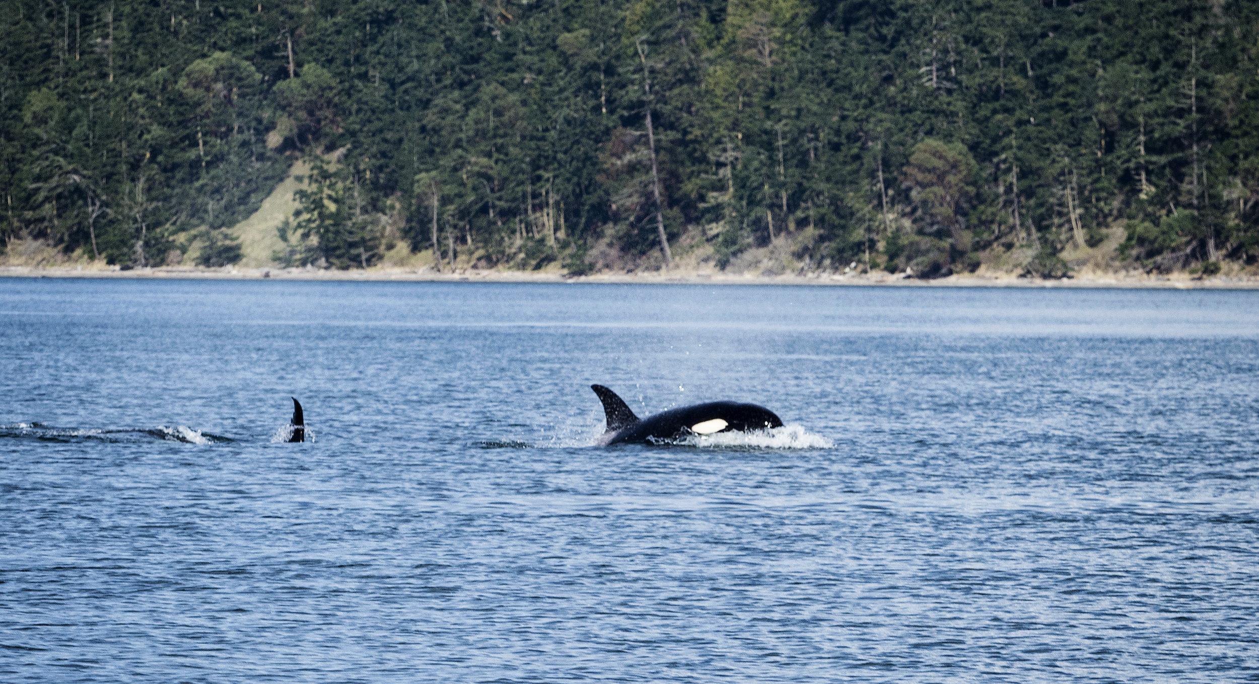 A pair of frisky Orca's