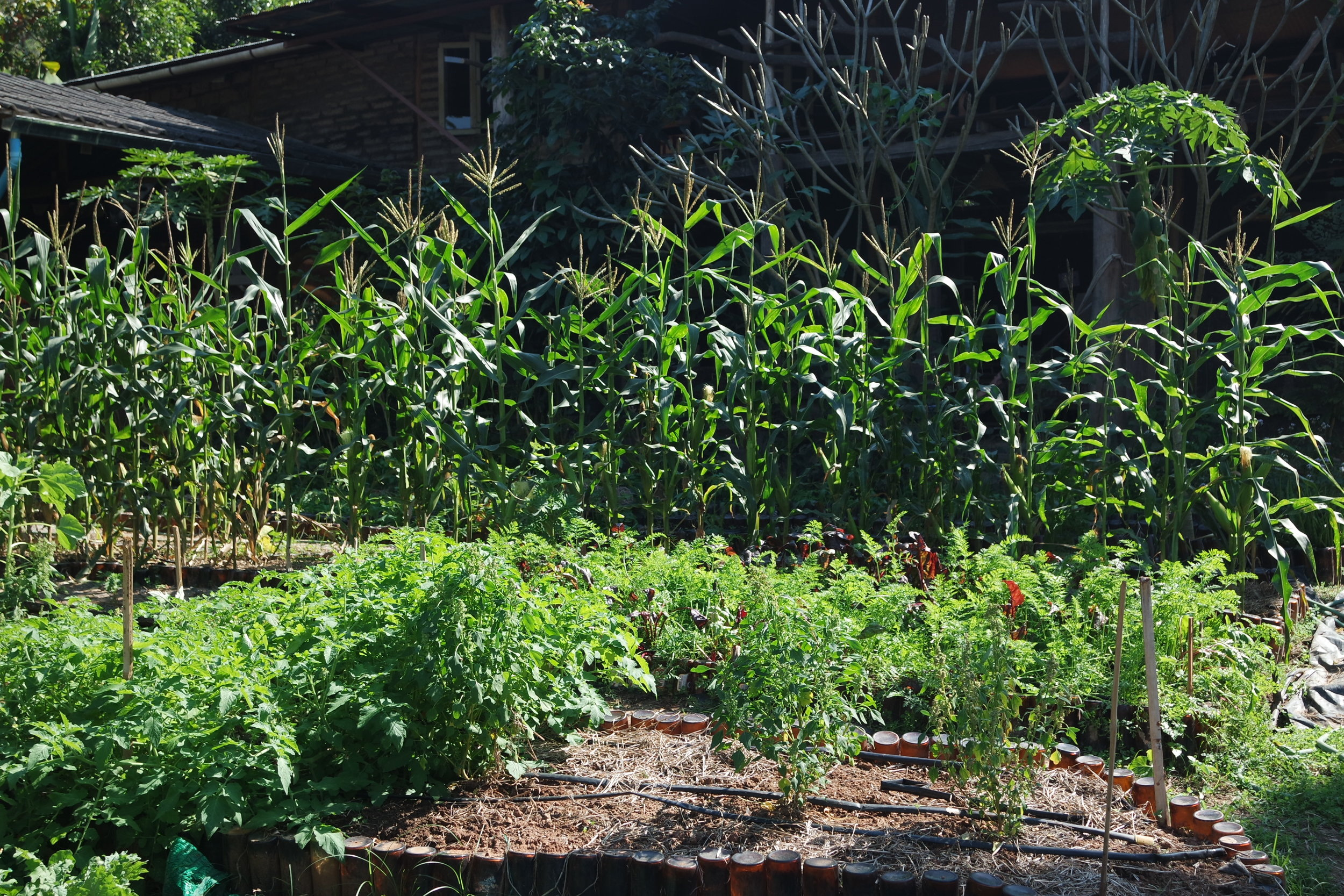 A few rows of corn can protect more sensitive plants from wind.
